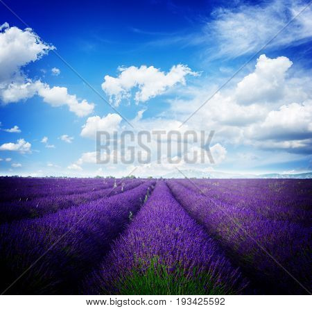 Lavender flowers field with symmetrical rows, France, retro toned