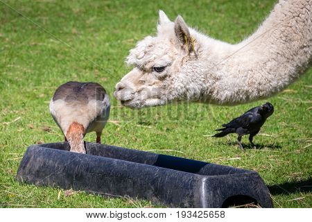 Duck stealing food from the llama bowl on a farm in Kent, England
