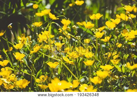Yellow flowers in a clearing in the forest, flowers decorate the forest and make it even more attractive. On a salt day it seems that the whole glade shines.