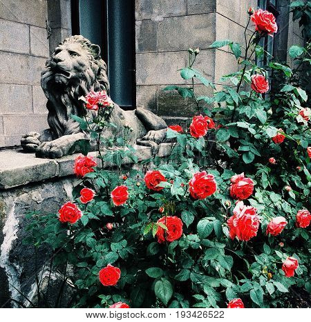 Stone lion and red roses toned and filtered