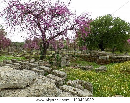 Impressive View of Uncountable Remains and Pink Flowering Trees at Archaeological Site of Ancient Olympia, Greece