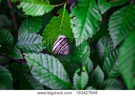 A striped brown snail sits on a green leaf on a tree branch