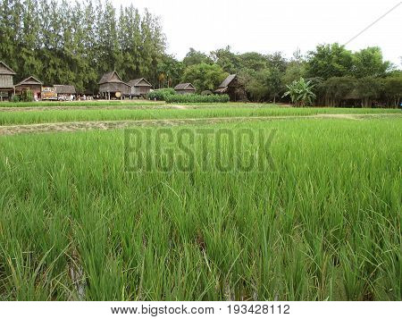 Vibrant Green Paddy Field with Thai Traditional Style Rustic Houses in Nakhon Ratchasima province, Thailand