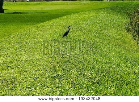 small black bird standing in the swamp