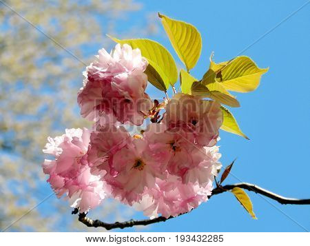 Sakura flower in Mclean near Washington DC 13 April 2016 USA