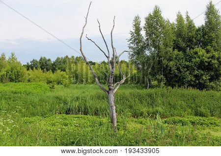 Dry tree on the edge of the swamp. In a woody texture, you can easily distinguish the connected parts of the body - eyes, nose, mouth ... This tree is very similar to the pagan idol and the place here is the most suitable for him.