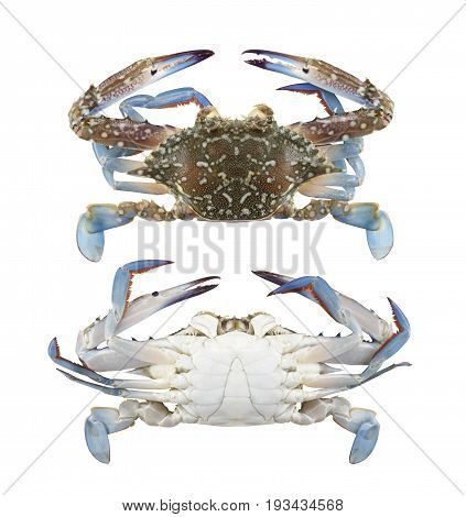 Freshness Blue swimmer crab or Blue manna crab isolated on white background and have clipping paths to easy deployment.