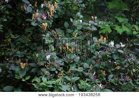 Thick wild honeysuckle foliage and blooms growing at the edge of a wooded area in southern Indiana.