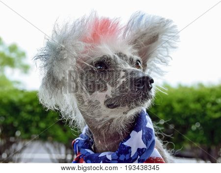 Chinese Crested Hairless dog wearing patriotic flag scarf for 4th of July