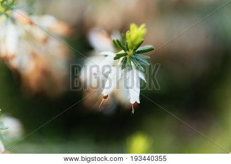 Flowers of a Winter Heath (Erica carnea)