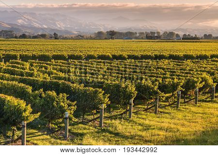 rows of grapevine growing in New Zealand vineyard at sunset