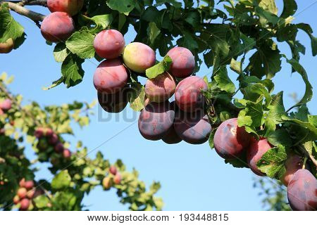 Plums ripe on branch in the orchard. View of fresh organic fruits on plum tree branch in the country, rustic fruit garden.