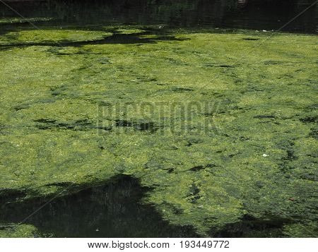Green Algae In A Pond