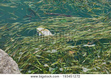 Dead Fish In Lake Pollution
