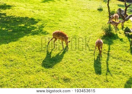Young roe deers on the meadow, top view. Zoo, wild animals and mammal concept.