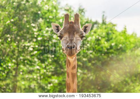 Close up portrait of Masai giraffe. Wild animal