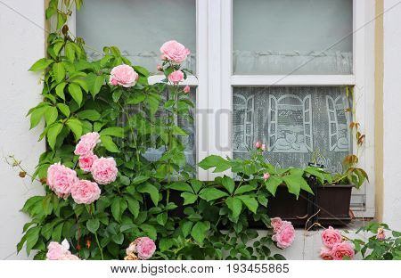 old window with pink climbing roses and pane curtain