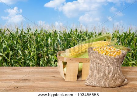 fresh corn cobs in basket and dry corns in bag on wooden table with green field on the background. Agriculture and harvest concept. Maize with maize field