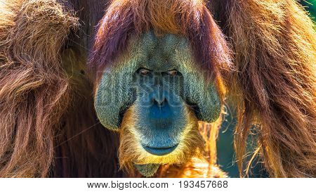 Portrait Of Very Old Asian Orangutan Posing At Front