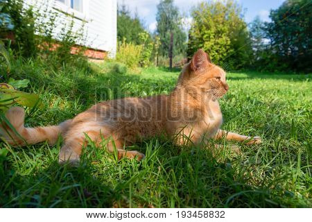 Red green-eyed cat resting on the green grass