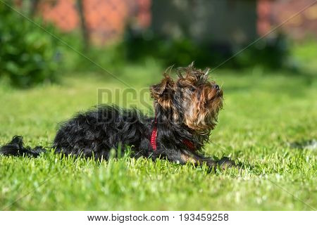 Puppy Yorkshire terrier resting on mowed grass lawn