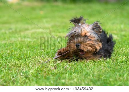 Puppy Yorkshire terrier gnawing stick lying on the lawn