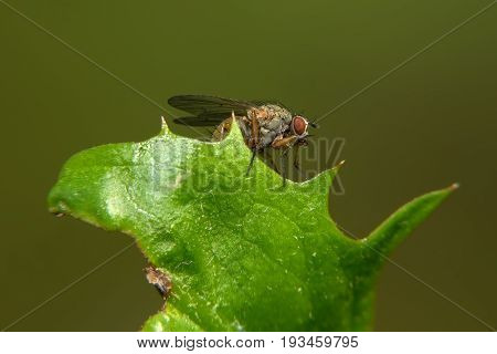 Small fly sits on a green leaf
