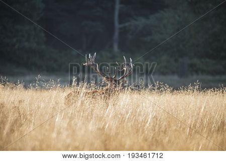 Majestic Red Deer Stag Cervus Elaphus Bellowing In Open Grasss Field Landscape During Rut Season In