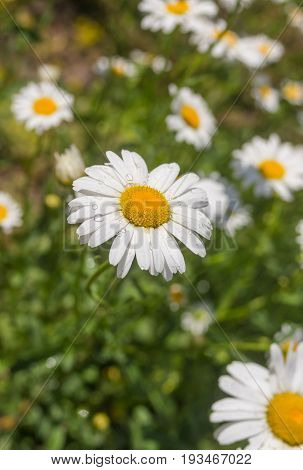 Garden ox-eye daisy (Leucanthemum vulgare) in early summer season closeup