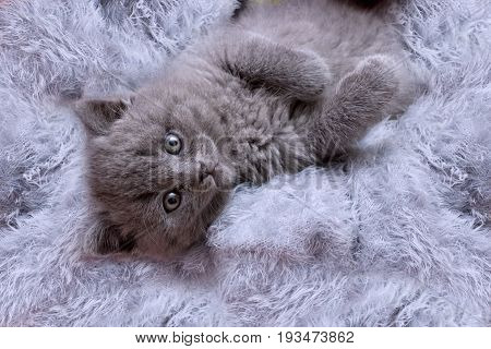 Pretty  brittish kitten relaxing looking at the camera.Beautiful animals background.
