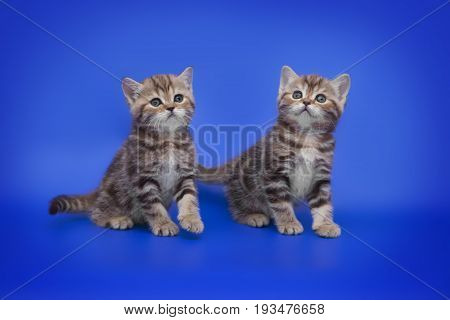 Two small two month old kitten on a blue background