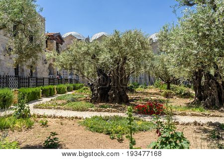 The Garden of Gethsemane near the Church of All Nations on the Mount of Olives in Jerusalem Israel