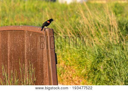 redwing black bird perched on a bridge singing