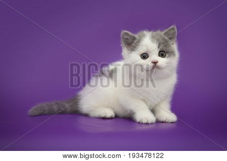 Little cute kitten on studio purple background