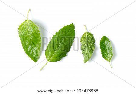 Fresh Holy Basil Leaf Isolated On White Background