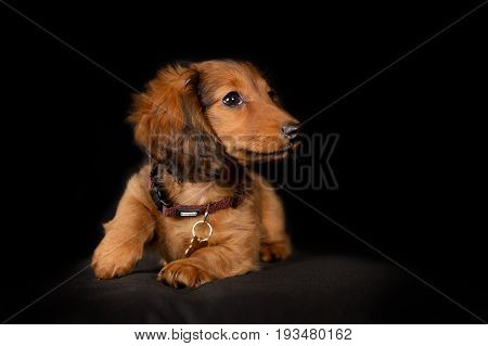 Young Longhaired Dachshund Dog Puppy