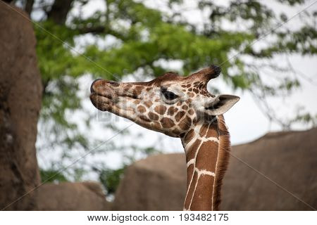 Head Of A Captive Giraffe In A Zoo Enclosure