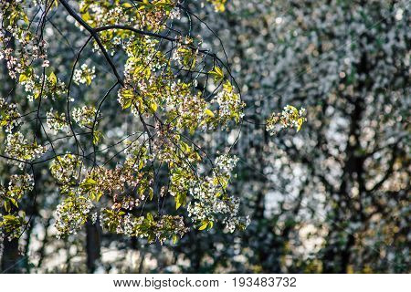 Bunches of white cherry blossoms on the tree