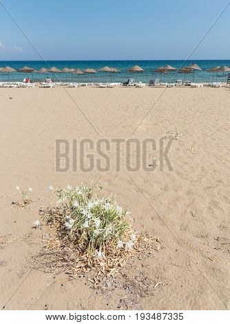 Sea daffodil or sea lily Pancratium flower with white flowers blooming above sea sand. Famagusta Cyprus
