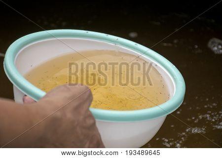 Larval shrimp in plastic bowl. Aquaculture animals. poster