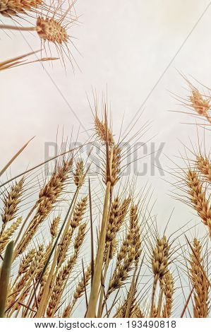 Agricultural background with ripe rye in the golden rays of the low sun backlight. Beautiful nature sunset.