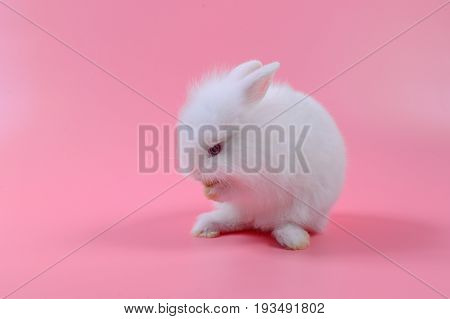 white fluffy bunny on pink background story for playboy Rabbit can breed all the time.