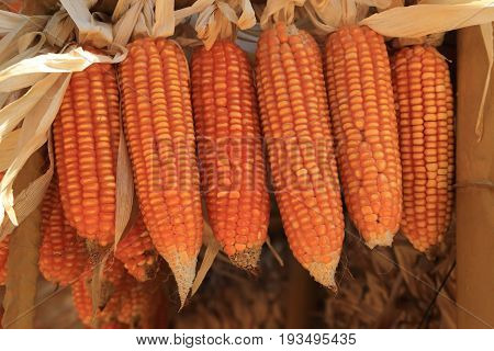 Golden dried corns hanging in rows for background.