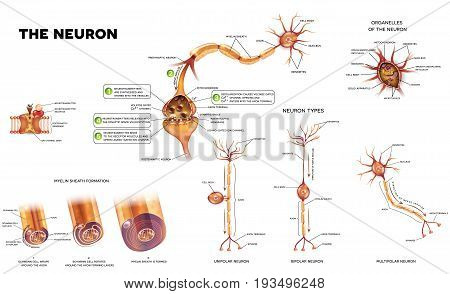 Neuron detailed anatomy illustrations. Neuron types myelin sheath formation organelles of the neuron body and synapse.