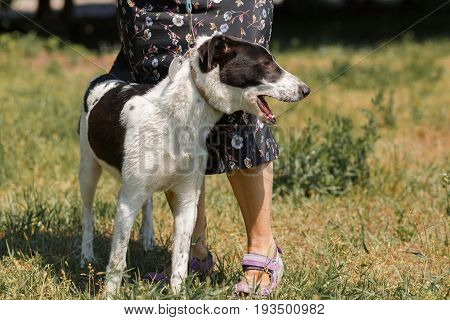 Friendly Black And White Dog On Walk Outdoors With Female Owner, Summer Time Relaxation, Animal Adop