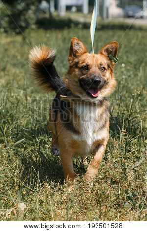 Cute German Shepherd Puppy Smiling Outdoors While On A Walk In The Park, Happy Brown Dog - Animal Ad