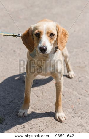 Cute Sad Little Dog, Brown Puppy On A Leash Walking In The Park, Animal Adoption Concept