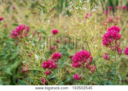 Budding flowering and overblown red valerian or Centranthus ruber plants growing on the of a Dutch emankment. It is in the beginning of the summer season.