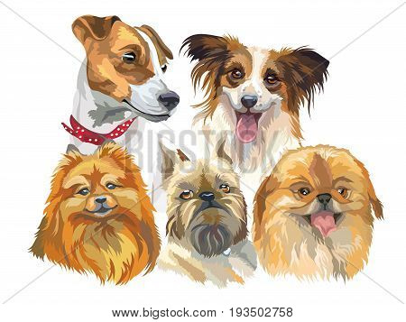 Set of colorful vector portraits of small size dog breeds (jack Russel terrier papillon small pomeranian brussels griffon; Pekingese) isolated on white background