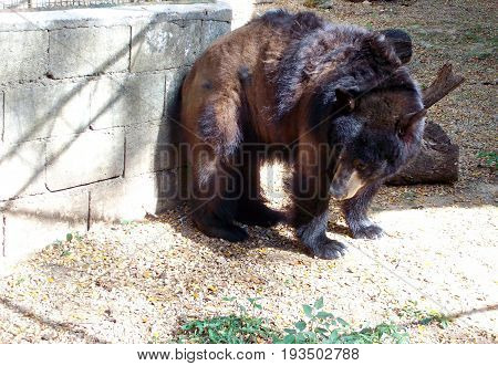 Brown bear in a zoo  A big brown bear leans against a hollow block wall in a zoo
